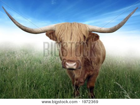 Scottish Highland Hairy Cow