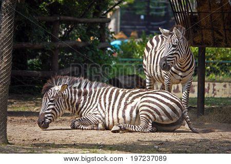 Zebra equus quagga African mammals photographed at the zoo