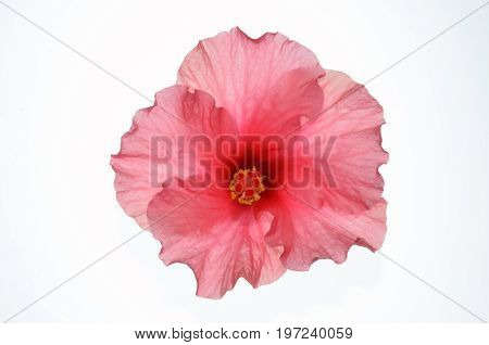 Isolate pink hibiscus or chinese rose in top view, a close up photo image of pink hibiscus or chinese rose in top view isolated on bright white light background present a detail of pink hibiscus or chinese rose petals pattern