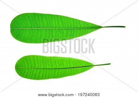 Isolate frangipani or plumeria leaf a close up photo of frangipani or plumeria leaf isolate on white bright light background show leaf pattern on upper and lower side of frangipani or plumeria leaf