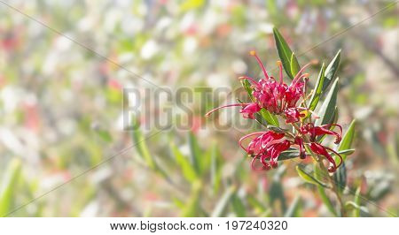 Australian flower Grevillea condolences background with bokeh copy space