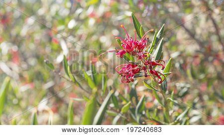 Australian wildflower Grevillea splendour a native shrub against bokeh colorful floral background in winter
