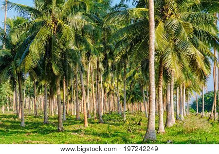 Coconut palm tree plantation - Espiritu Santo Vanuatu