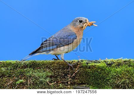 Female Eastern Bluebird (Sialia sialis) on a branch with a worm