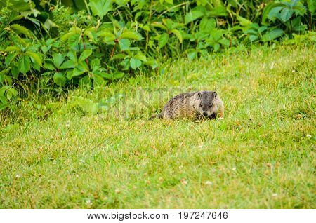 Closeup Of Beaver Sitting In Grass By Bushes Looking For Food