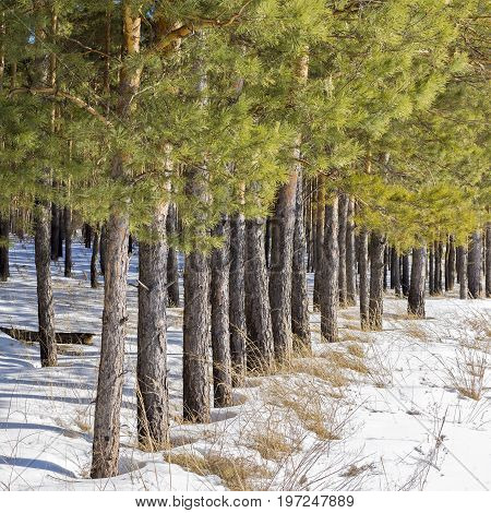 Reforestation. Artificially planted pine forest. Novosibirsk oblast Siberia Russia