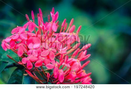 Close up image of pink West Indian Jasmine - Ixora