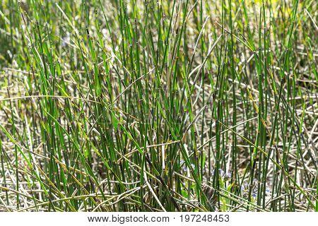 Horsetail wintering ( lat. Equisetum hyemale ). Wild herb Siberia
