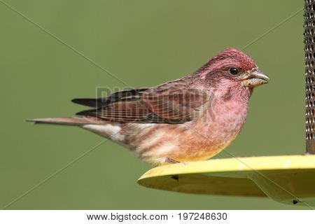 Male Purple Finch (Carpodacus purpureus) perched on a feeder