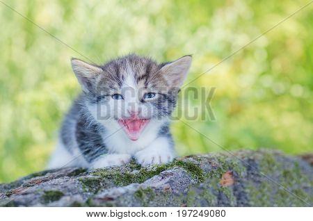 Meowing Kitten Closeup Portrait