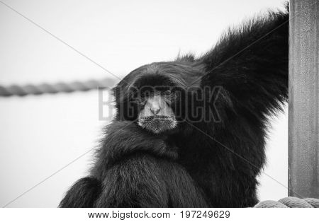 The siamang (Symphalangus syndactylus) is an arboreal black-furred gibbon