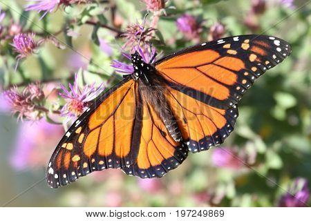 Monarch Butterfly (danaus plexippus) on fall flowers