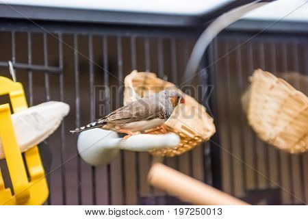 Finch Perched On Branch In House In Cage With Orange Beak