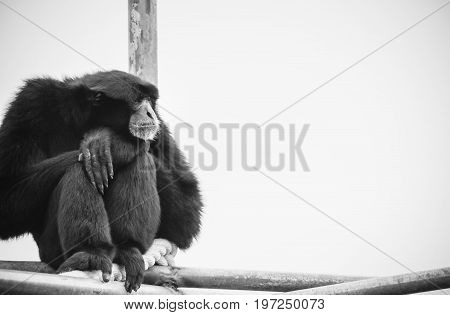 A Siamang Gibbon (Symphalangus syndactylus) with copy space