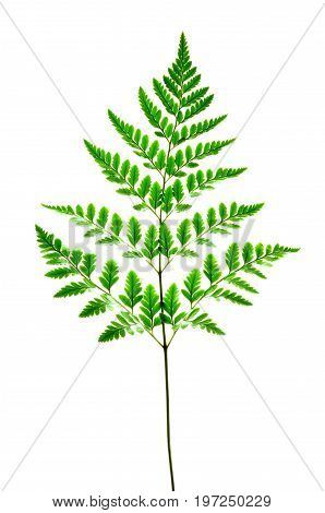 Isolate fern leaves, a close up photo image of fern leaves on fern stem isolated on bright white background