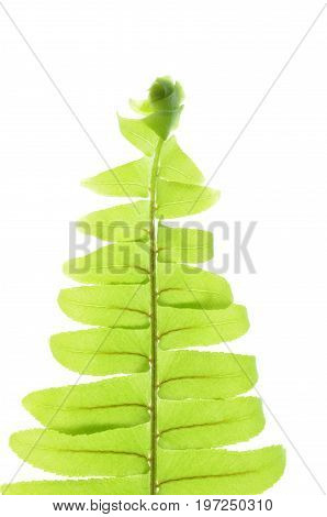 Isolate green sword fern leaves, sword fern leaves pattern, tropical plant, a close up photo image of sword fern isolate on bright white light background present a detail of foliage pattern
