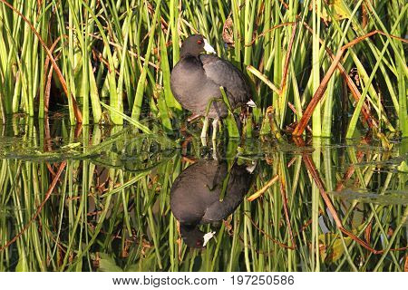 American Coot (Fulica americana) in the Florida Everglades