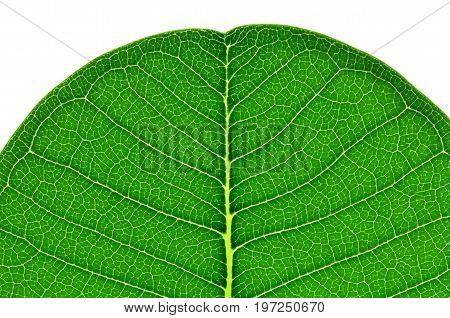 Tip of frangipani or plumeria leaf a close up photo at the tip of frangipani or plumeria leaf on white bright background show leaf texture and pattern at the tip edge of frangipani or plumeria leaf
