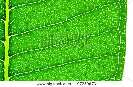 Edge of frangipani or plumeria leaf a close up photo image at the edge of frangipani or plumeria leaf on white background show leaf texture and pattern at the edge of frangipani or plumeria leaf
