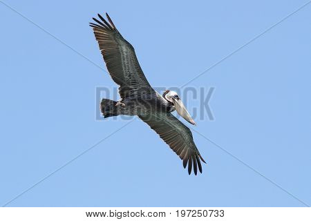Brown Pelican (Pelecanus occidentalis) in flight over the Pacific Ocean