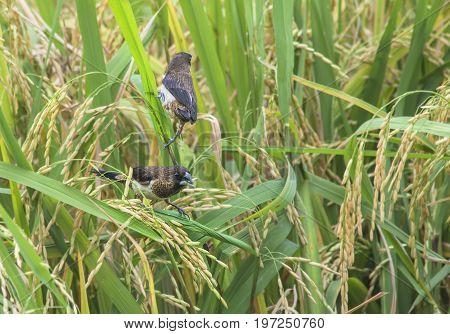 White-rumped Munia in the rice field farm