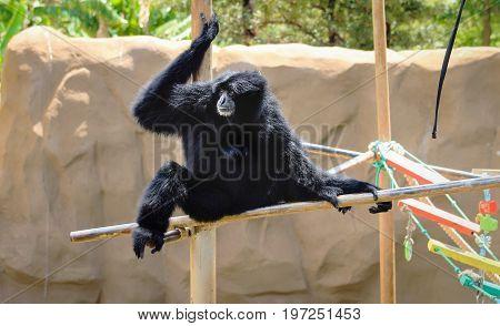 Image of a Siamang Gibbon (Symphalangus syndactylus)