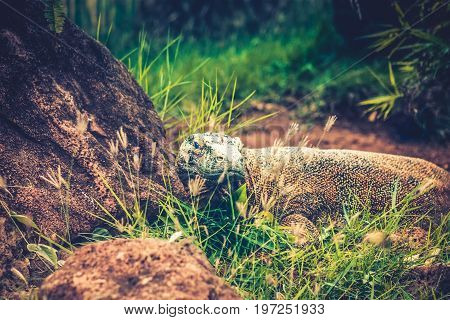 The Komodo dragon (Varanus komodoensis) also known as the Komodo monitor is a large species of lizard