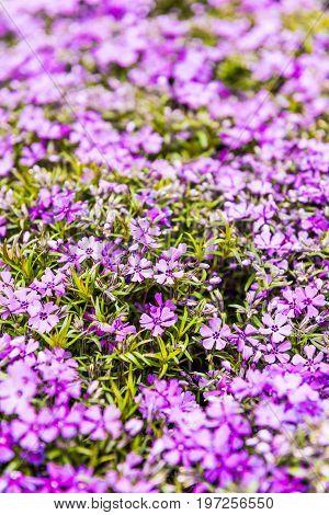 Purple Flowers Creeping Phlox Flowerbed Macro Closeup