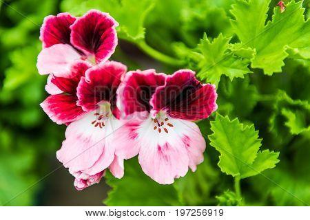 Macro Closeup Of Purple Martha Washington Flowers