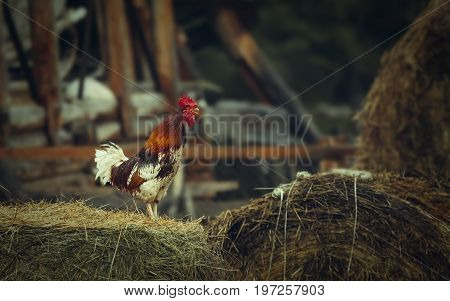 Motley rooster sing on hay in the farm