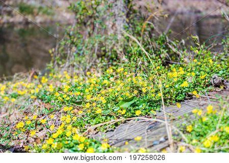 Lesser Celandine Or Ranunculus Ficaria Flowers Macro Closeup With River
