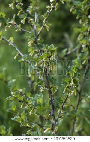 Fresh unripe growing young gooseberries on a branch of gooseberry bush in the fruit garden organic growing