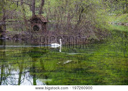 Bosna River Pond With White Swan
