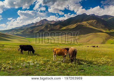 Herd of cows grazing in Alps, summer