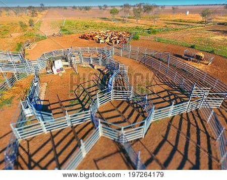 Aerial view of Outback Cattle mustering featuring herd of livestock cows and bulls in drought and dusty area. Ready for auction and cattle yards. Complete with sheep dogs and cowboy farmers.