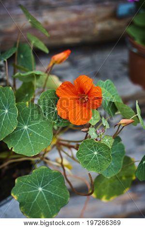 Tropaeolum nasturtium Indian cress red blossom and leaves close up