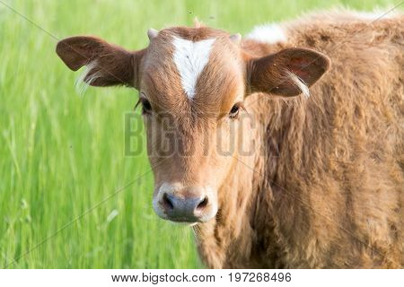 A cow on the pasture . A photo