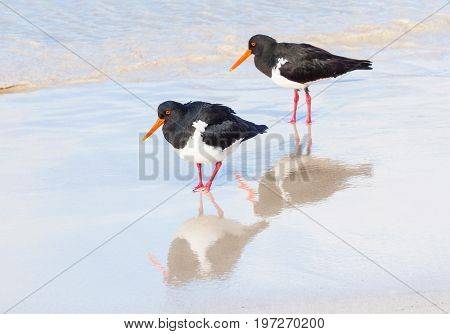 A pair of Pied Oystercatchers on the beach at Rottnest Island, near Perth in Western Australia. With reflections.