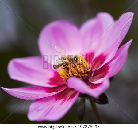 bee collects pollen on beautiful pink flower of cosmea bipinnatus
