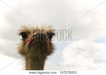 ostrich bird head and neck front portrait.