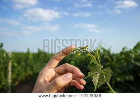 Female open palm reaching for a young tendril of grapes rod with a green leaves. Girl's hands touch the harvest of the grapes.
