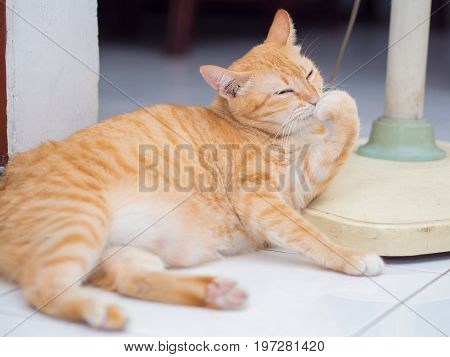 Ginger Cat Licking Its Hand  . .