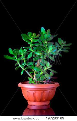Crassula ovata or money tree succulent plant in flower pot close up on black background with reflection