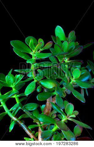 Crassula ovata or money tree succulent plant close up on black background