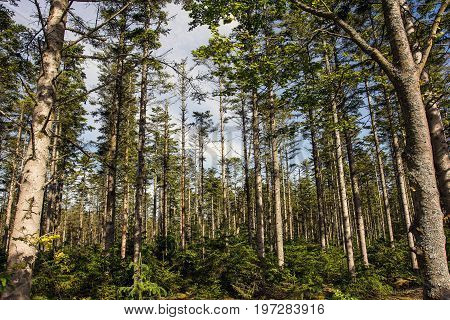 Forest with fir trees, and a forest bottom with small new fir trees