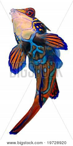 Mandarin Fish. Synchiropus Splendidus.