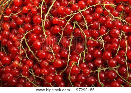 A close-up picture of ripe, tasty and bright red branches of currant used as background. Juicy, raw, fresh, tasty, healthy, nutritious concept. Berries for vegetarian food.