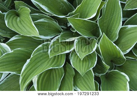 hosta plant in a decorative formal garden