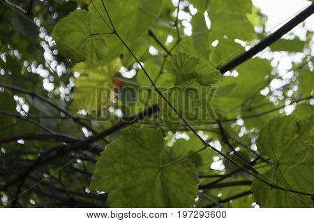 Green grapevine are growing in summer. Background