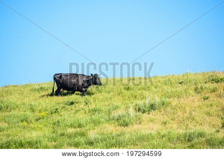 Black cow with bell walking on green grass against blue sky